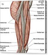 Anatomy Of Human Thigh Muscles Acrylic Print