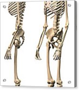 Anatomy Of Male Human Skeleton, Side Acrylic Print