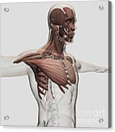 Anatomy Of Male Muscles In Upper Body Acrylic Print
