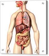Anatomy Of Male Respiratory Acrylic Print