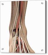 Anatomy Of The Foot Acrylic Print