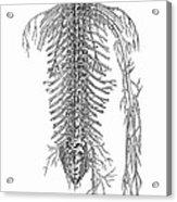 Anatomy: Spinal Nerves Acrylic Print