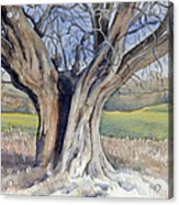 Ancient English Tree Acrylic Print