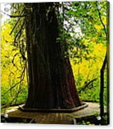 Ancient Old Growth Acrylic Print