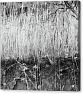 Ancient Sagebrush 2 Acrylic Print