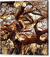 Ancient Wiliwili Tree Acrylic Print