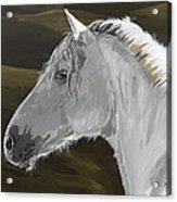Andalusian Foal Acrylic Print