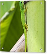 Andaman Day Gecko  India Acrylic Print
