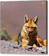 Andean Fox Portrait Acrylic Print