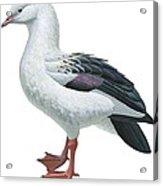 Andean Goose Acrylic Print