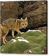 Andean Red Fox Altiplano Bolivia Acrylic Print