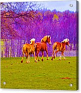 Andy's Horses Acrylic Print by BandC  Photography