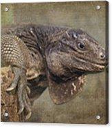 Anegada Ground Iguana - Houston Zoo Acrylic Print