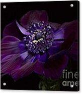 Anemone Coronaria De Caen Acrylic Print