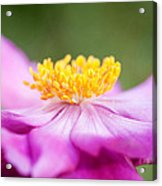 Anemone Flower Close Up Acrylic Print