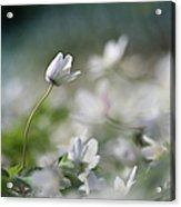 Anemone Flower Acrylic Print