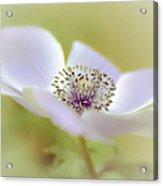 Anemone In White Acrylic Print