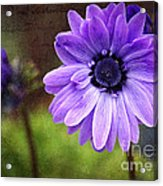 Anemone Kissed Acrylic Print