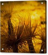Anemone One Acrylic Print
