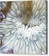 Anenomes 18 Acrylic Print