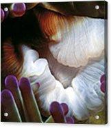 Anenomes 2 Acrylic Print