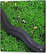 Anerythristic Red Belly Snake Acrylic Print