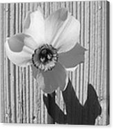 Angel Eyes Narcissus Acrylic Print