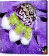 Angel Face Blue - With Extra Petals And 3 Stamen Acrylic Print