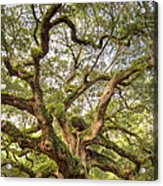 Angel Oak Tree Johns Island Sc Acrylic Print