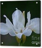 Angel Wings Iris Acrylic Print