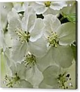 Angelic Blossom Acrylic Print