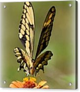 Angelic Butterfly  Acrylic Print