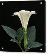 Angel's Trumpet Datura Acrylic Print by Angie Vogel