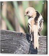 Angry Bird Bearded Reedling Juvenile Acrylic Print