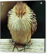 Angry Bird Acrylic Print