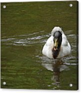 Angry Crested Duck Acrylic Print