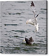 Angry Gull Acrylic Print