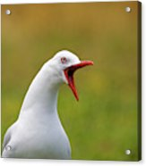 Angry Red Billed Gull Acrylic Print