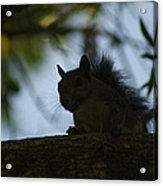 Angry Squirrel Acrylic Print