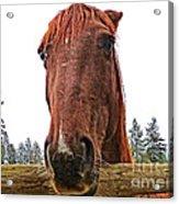 Angry Stallion Acrylic Print