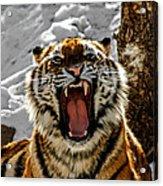 Angry Tiger Acrylic Print