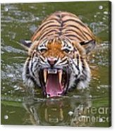 Angry Tiger Acrylic Print by Louise Heusinkveld