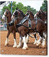 Anheuser Busch Budweiser Clydesdale Horses In Harness Usa Rodeo Acrylic Print
