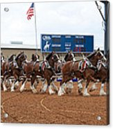 Anheuser Busch Clydesdales Pulling A Beer Wagon Usa Rodeo Acrylic Print