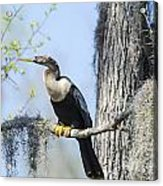 Anhinga And Spanish Moss Acrylic Print