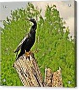Anhinga Bird On Stump Acrylic Print