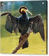 Anhinga Drying His Wings Acrylic Print