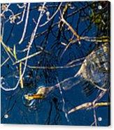 Anhinga Everglades Acrylic Print