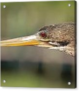 Anhinga Florida Water Bird  Acrylic Print