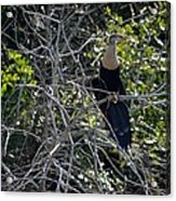 Anhinga In Brush Acrylic Print